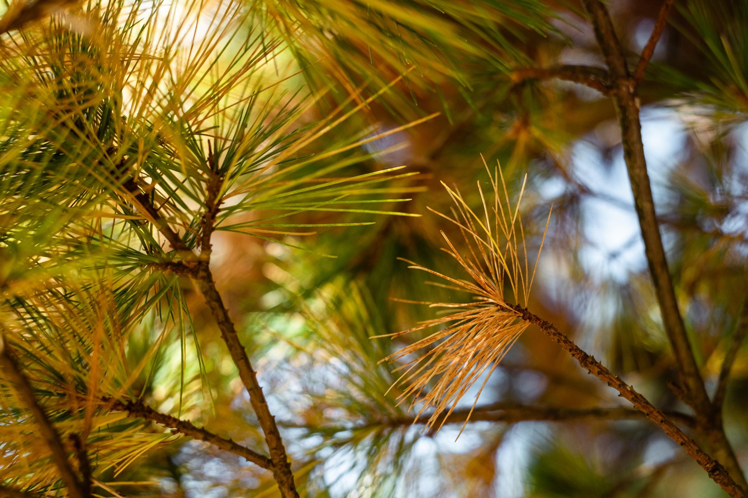 L'utilisation des aiguilles de pin, permettrait-elle l'implantation d'une nouvelle filière?
